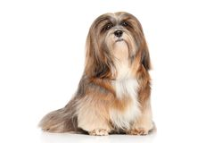 Lhasa Apso on a white background Royalty Free Stock Photos