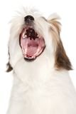 Lhasa Apso yawns on a white background Royalty Free Stock Photos