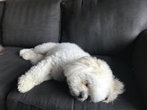 LhasaPoo taking a nap. A beautiful white LhasaPoo taking a nap Royalty Free Stock Image