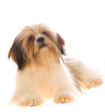 Lhaso Apso on white background. Beautiful Lhaso Apso dog on white background royalty free stock image