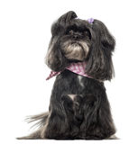 Lhassa apso sitting, isolated Stock Photography