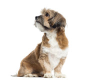 Lhassa apso sitting, looking away, isolated Stock Images