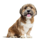 Lhassa apso sitting, panting, isolated Stock Photos