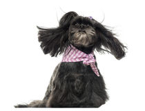 Lhassa apso sitting, in the wind, isolated Royalty Free Stock Photo