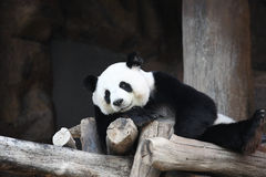 Lhinhui le panda géant Photos libres de droits
