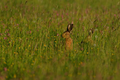 Lièvres dans la prairie Photographie stock