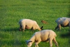 Lièvres de Brown dans l'herbe Photo stock