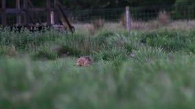 Lièvres de Brown, europaeus de Lepus, séance, se cachant sur la longue herbe en été, juin dans une gorge dans le parc national de banque de vidéos