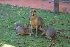 Lièvres de Mara Patagonian avec des petits animaux dans un zoo de Buenos Aires image stock