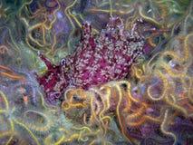 Lièvres de mer de la Californie entourés par les étoiles fragiles épineuses Image stock