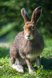 Lièvres de montagne (lat. Timidus de Lepus) Photo stock