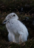 Lièvres de montagne se toilettant dans Cairngorms, Ecosse Image libre de droits