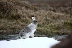 Lièvres de montagne, timidus de Lepus Photographie stock libre de droits