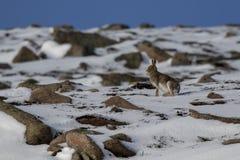 Lièvres de montagne, timidus de Lepus, pendant octobre toujours dans le manteau d'été entouré par la neige dans les pierres de Ca image libre de droits