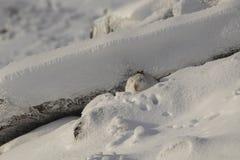 Lièvres de montagne, timidus de Lepus, séance, fonctionnant un jour ensoleillé dans la neige pendant l'hiver en parc national de  Images stock