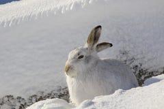 Lièvres de montagne, timidus de Lepus, séance, fonctionnant un jour ensoleillé dans la neige pendant l'hiver en parc national de  Image libre de droits