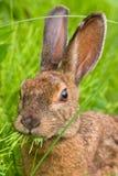 Lièvres de raquette alimentant sur l'herbe Images libres de droits