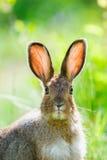 Lièvres de raquette (Lepus américanus) Image stock