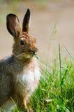 Lièvres de raquette (Lepus américanus) Images libres de droits