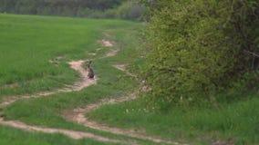 Lièvres européens sur le chemin forestier au printemps banque de vidéos