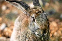 Lièvres gris dans l'herbe verte photographie stock