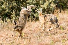 2 lièvres sautant et combattant photos libres de droits