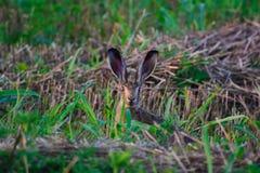 Lièvres sauvages dans l'herbe Images libres de droits