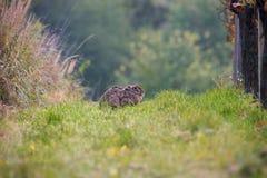 Lièvres sauvages de Brown, se dorant au soleil entre les rangées de vignoble Lièvres isolés dans le vignoble sur l'herbe verte Images libres de droits