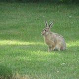 Lièvres sauvages sur l'herbe verte Images stock