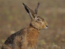 Lièvres se reposants (europaeus de Lepus) Photos libres de droits