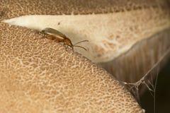 Liść ścigi czołganie na bolete pieczarce w New Hampshire Obraz Royalty Free