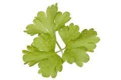 liść świeża pietruszka zdjęcia royalty free