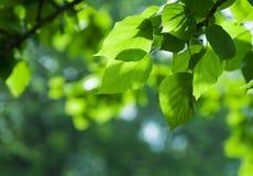liść świeża wiosna zdjęcie royalty free