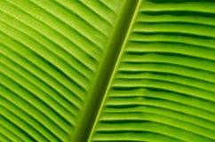 Liść świeży bananowy tło Obraz Stock