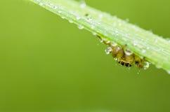liść świeży zielony pająk Obraz Stock