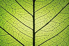 liść żebruje żyły Zdjęcia Stock
