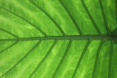 liść żyła Zdjęcia Stock
