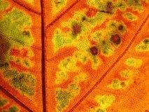 liść żyłkowanie Zdjęcia Royalty Free