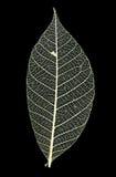 liść żyły Zdjęcie Royalty Free