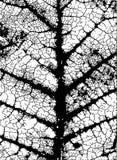 liść żyły Obraz Stock