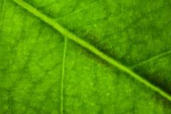 liść żyły makro Zdjęcia Royalty Free