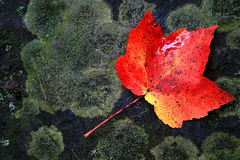 liść Zdjęcie Stock