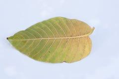liść Obraz Stock