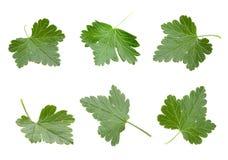 liść agrestowy set Zdjęcia Royalty Free
