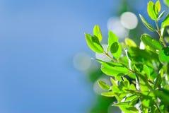 liść błękitny świeży zielony niebo Obraz Royalty Free