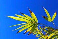 Liść bambus Zdjęcia Royalty Free