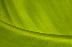 liść bananów palma Fotografia Stock