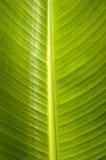 liść banana Zdjęcie Royalty Free