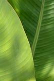 liść banana Obrazy Royalty Free