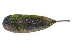 liść barwiarski butwienie Zdjęcia Stock
